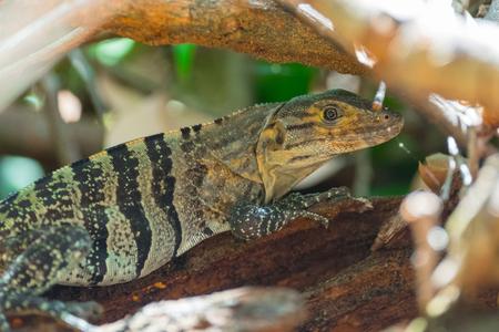 Lizard in a forest. Costa Rica