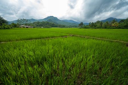 Rijp rijstveld op het eiland Flores, Indonesië Stockfoto