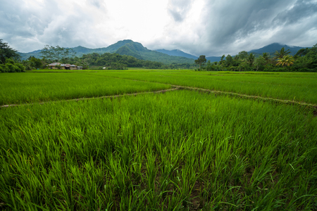 Ripe rice field on the island of Flores, Indonesia