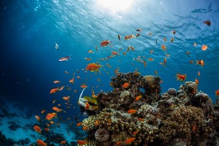 Arrecife de coral vivo lleno de peces. Mar Rojo, Dahab