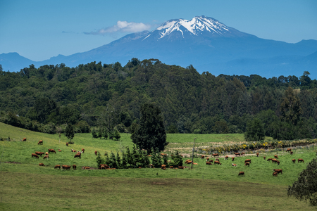 Cows graze on the green pristine field with snow caped volcano on the background