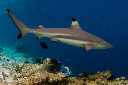 Blacktip reef shark (Carcharhinus melanopterus) swims along the reef edge in the tropical sea