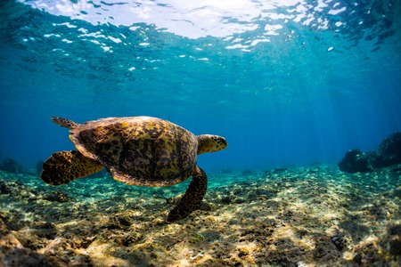 Underwater shot of the sea turtle swimming in the shallow area Banco de Imagens