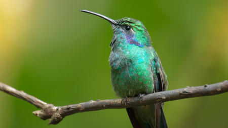 Hummingbird sits on the tree branch in the forest of Costa Rica