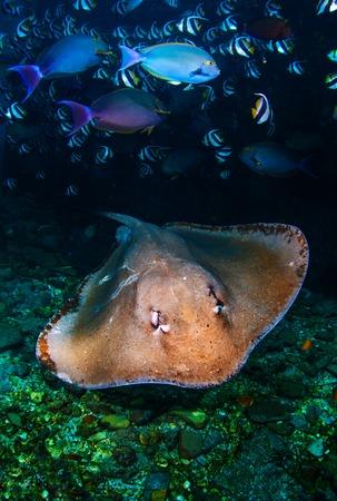 Underwater shot of the stingray gliding over the rocky bottom among the school of fish Фото со стока