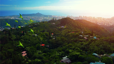 Flock of parrots fly over the green tropical forest with city of Honolulu on the background. The island of Oahu, Hawaii Stock Photo