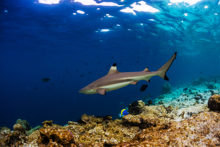 Blacktip reef shark (Carcharhinus melanopterus) swims along the reef edge in the tropical sea Stock Photo