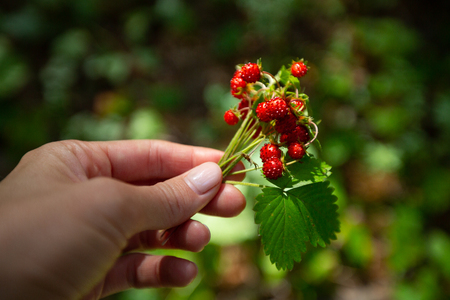 Woman holds the bunch of ripe wild strawberry on the natural background