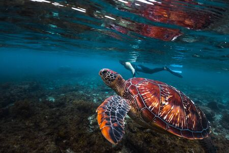 Man snorkeling and swimming with the colorful sea turtle (Cheloniidae) in the tropical sea near the Apo island in Philippines Banco de Imagens - 132920600