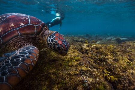 Man snorkeling and swimming with the colorful sea turtle (Cheloniidae) in the tropical sea near the Apo island in Philippines Banco de Imagens - 132949568