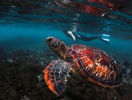Man snorkeling and swimming with the colorful sea turtle (Cheloniidae) in the tropical sea near the Apo island in Philippines Banco de Imagens