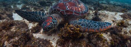 Colorful sea turtle (Cheloniidae) grazes in the tropical sea near the Apo island in Philippines Banco de Imagens - 132921652