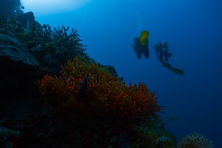 Two scuba divers swim deep underwater and passed vivid red glowing anemone coral