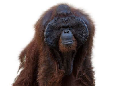 Portrait of the Orangutan (Pongo) isolated on white background, primate looks at the camera