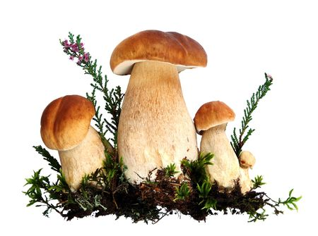 Forest mushrooms in moss and heather - Boletus edulis, isolated photo