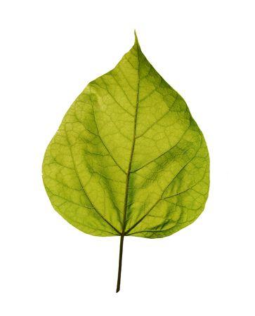 catalpa: Isolated leaf of Catalpa tree