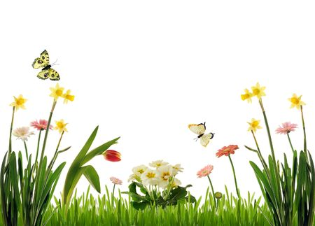 primrose: Spring flower scenery