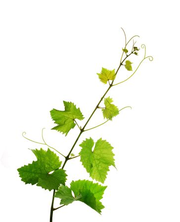 Isolated grapevine branch