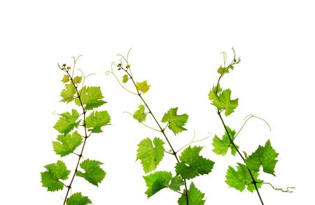 shoots: Three isolated grapevine branches Stock Photo