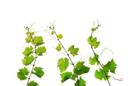 hojas parra: Tres ramas de la vid aislado