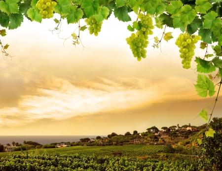 Sunset vineyard and fresh grapevine