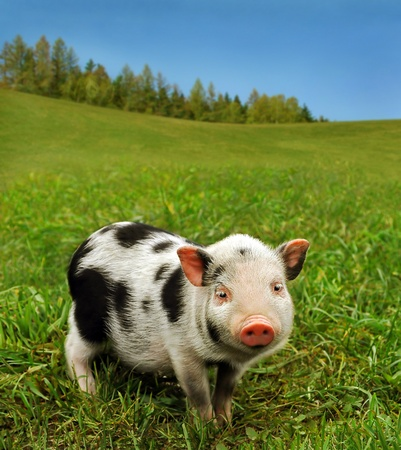 domestic scene: Cute piglet on spring meadow