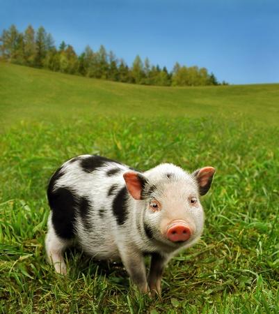 muffle: Cute piglet on spring meadow