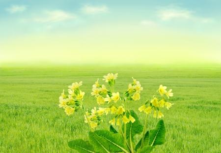 Primroses on spring meadow