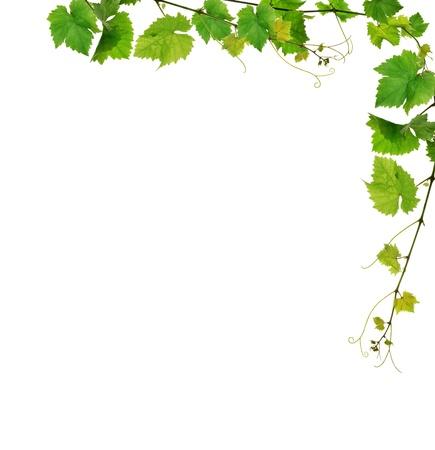 tip of the leaf: Fresh grapevine border Stock Photo