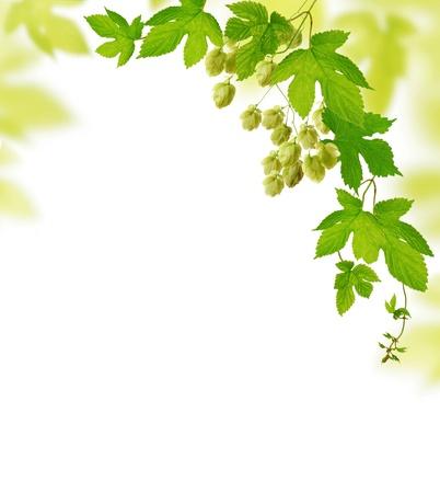 beer production: Hop plant border