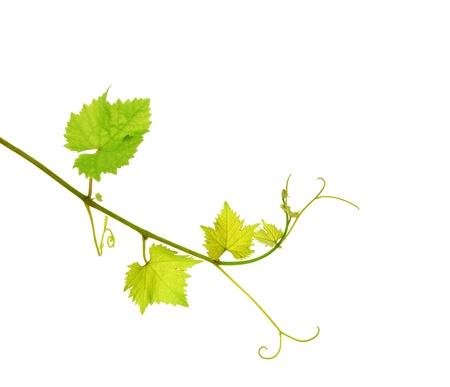 Grapevine branch