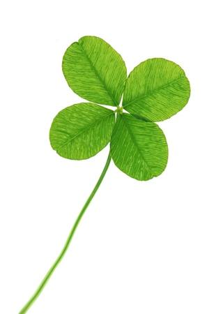 four leaf: Tr�bol de cuatro hojas, aisladas sobre fondo blanco