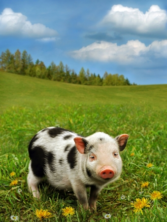 piglet: Cute piglet on spring meadow
