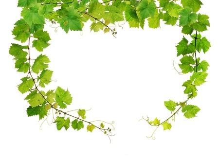 tip of the leaf: Fresh grapevine frame Stock Photo
