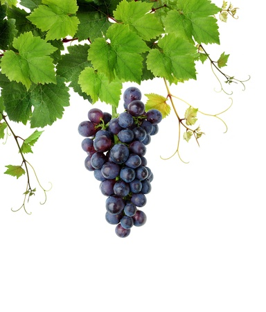 tip of the leaf: Blue grape and grapevine Stock Photo