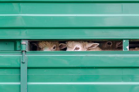 sheep eye: Sheeps waiting for shearing