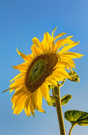 giant sunflower: Beautiful sunflower in summer at early evening