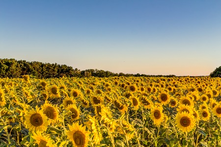 giant sunflower: Field of sunflowers in summer at early evening Stock Photo