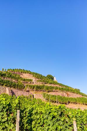 Vineyard near Wackerbarth castle in Saxony in summer
