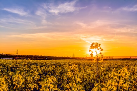 oilseed: Yellow oilseed rape field under a colorful sky and sundown