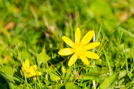 beaming: Yellow margarita in the grass in springtime Stock Photo