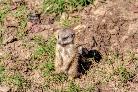 Little meerkat, Suricata suricatta, in the savannah Stock Photo