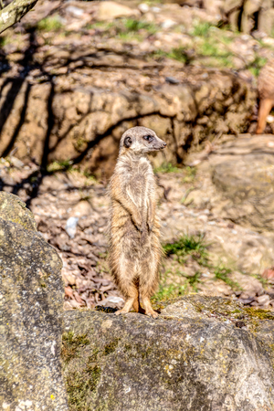 Suricate on guard and lookout duty on a rock