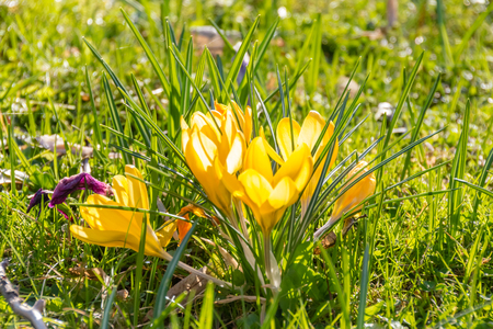 beaming: A group of crocus flowers in the grass