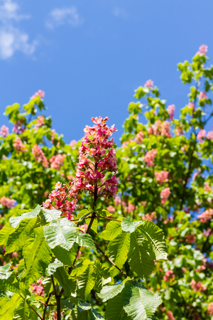 Full blossom of red horse-chestnut in spring in Germany