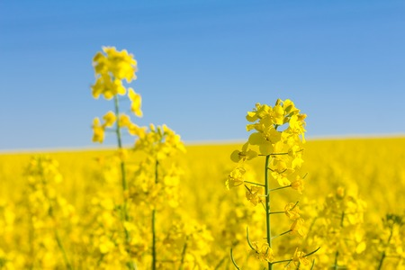 Yellow oilseed rape field under the blue sky with sun - detailed view