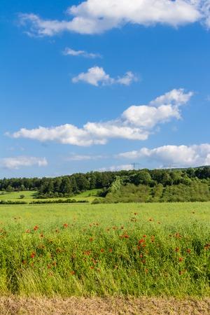 plants species: Papaveri su un prato nei fochi di Harz