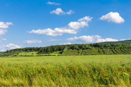 Poppies on a meadow in the Harz foothills