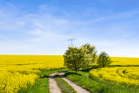 canola: Yellow oilseed rape field and tree under the blue sky with sun