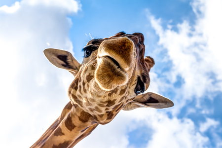 Close-up of a giraffe head during a safari trip South Africa Banco de Imagens